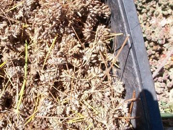 semillas-hinojo-florencia