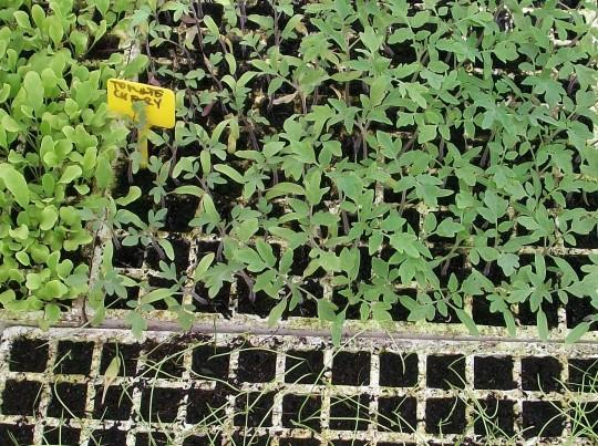 tomate-chery-plantones
