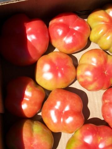 tomate-montserrat-5