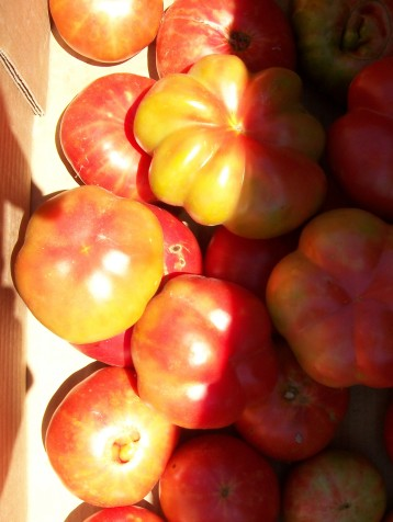 tomate-montserrat-povedilla