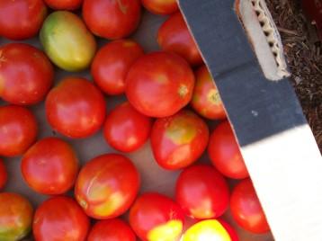 tomate-pera-5