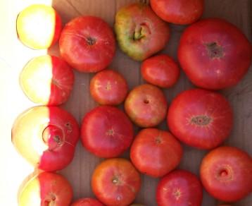 tomate-povedilla-2