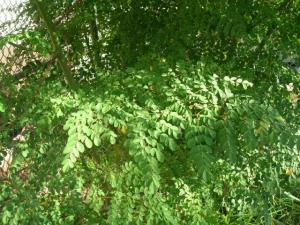 moringa_leaves_01