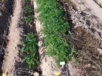 pimiento-etuda-naranja-perejil-de-raiz-100_3400