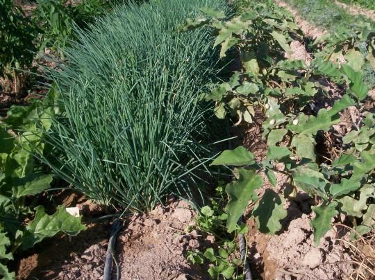 verduras-ecologicas-de-otono-100_3463