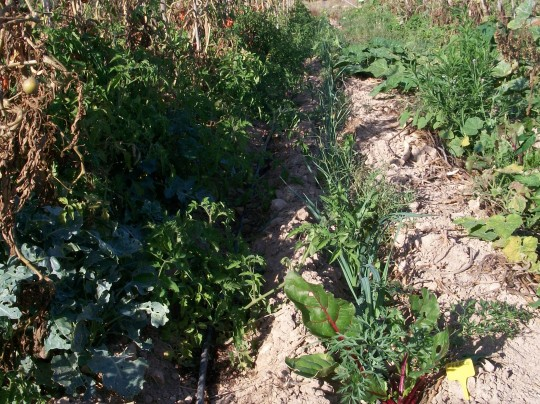 verduras-ecologicas-de-otono-100_3481