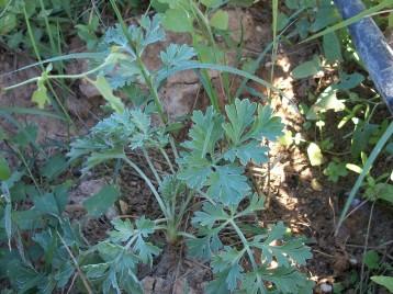 verduras-ecologicas-de-otono-bacarot-granja-masphael-100_3634