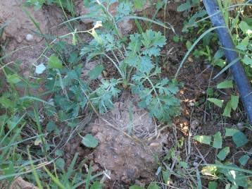 verduras-ecologicas-de-otono-bacarot-granja-masphael-100_3635