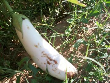 verduras-ecologicas-de-otono-bacarot-granja-masphael-100_3637