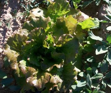 verduras-ecologicas-de-otono-bacarot-granja-masphael-100_3641