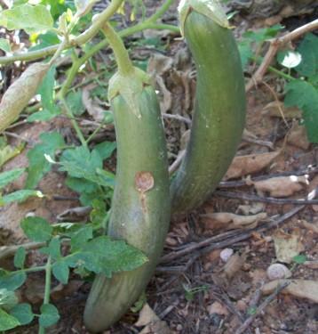verduras-ecologicas-de-otono-bacarot-granja-masphael-100_3649