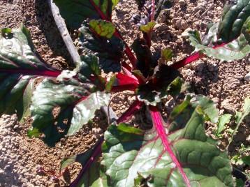 verduras-ecologicas-de-otono-bacarot-granja-masphael-100_3665