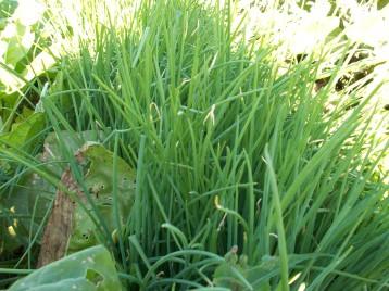 verduras-ecologicas-de-otono-bacarot-granja-masphael-100_3669