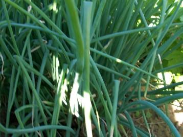 verduras-ecologicas-de-otono-bacarot-granja-masphael-100_3670