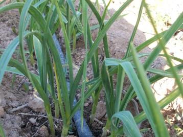 verduras-ecologicas-de-otono-bacarot-granja-masphael-100_3672