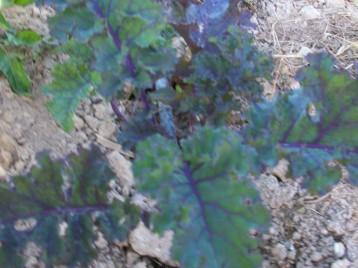 verduras-ecologicas-de-otono-bacarot-granja-masphael-100_3674