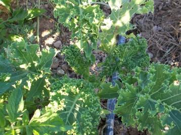 verduras-ecologicas-de-otono-bacarot-granja-masphael-100_3676