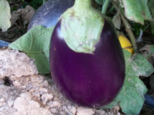 verduras-ecologicas-de-otono-bacarot-granja-masphael-100_3688