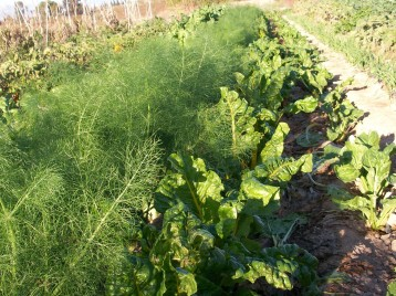 verduras-ecologicas-de-otono-bacarot-granja-masphael-100_3694