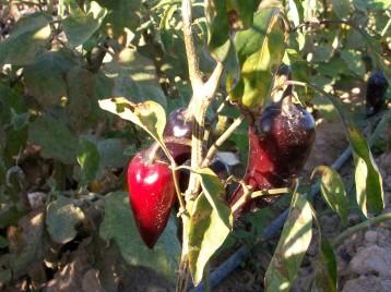 verduras-ecologicas-de-otono-bacarot-granja-masphael-100_3696