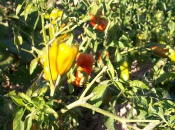 verduras-ecologicas-de-otono-bacarot-granja-masphael-100_3697