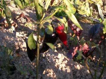 verduras-ecologicas-de-otono-bacarot-granja-masphael-100_3702