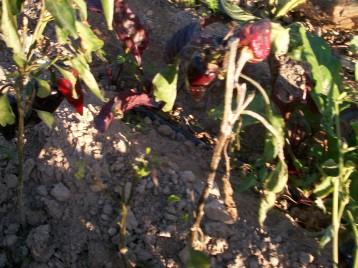 verduras-ecologicas-de-otono-bacarot-granja-masphael-100_3703