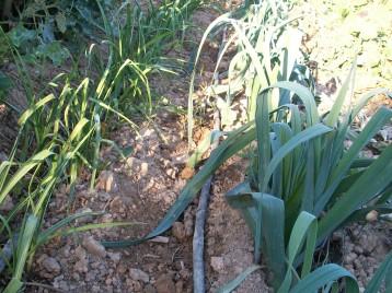 verduras-ecologicas-de-otono-bacarot-granja-masphael-100_3705