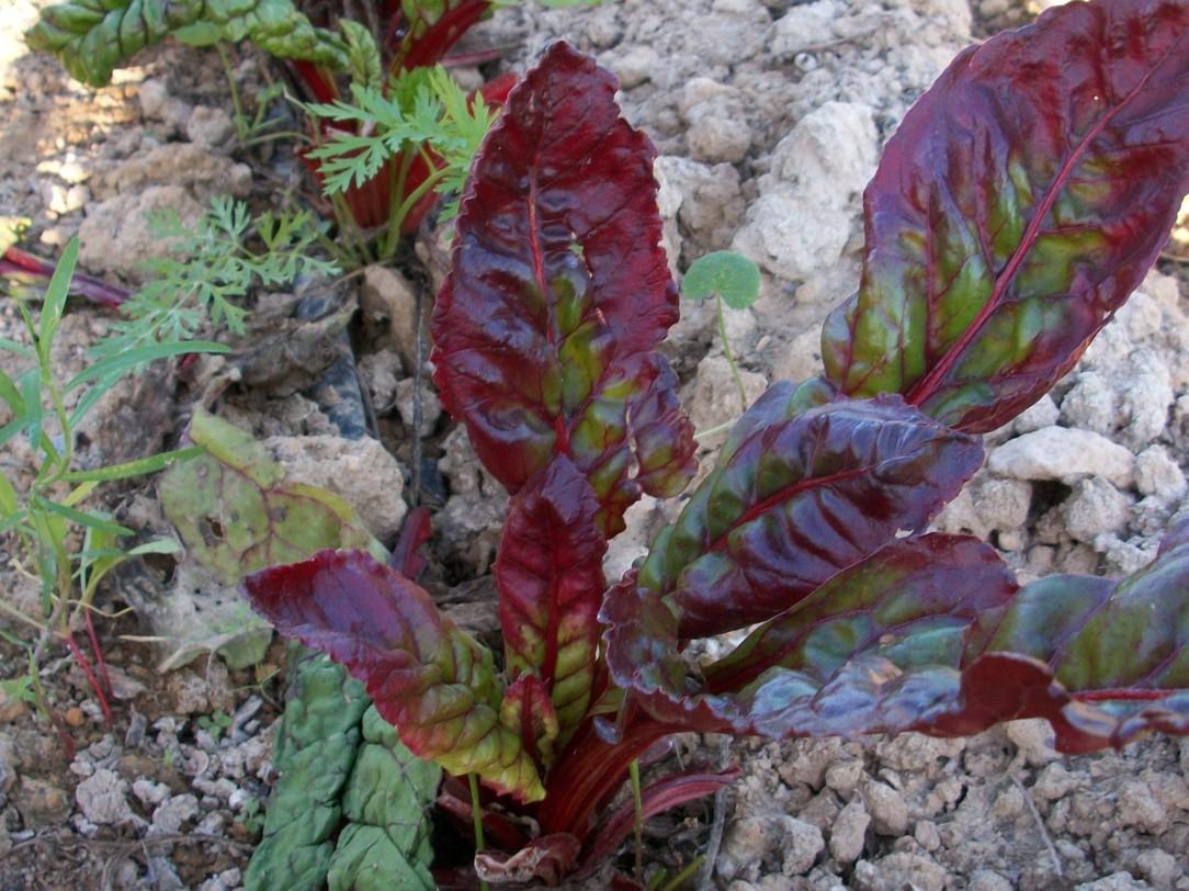 verduras-ecologicas-de-otono-bacarot-granja-masphael-100_3708