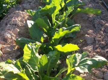 verduras-ecologicas-de-otono-bacarot-granja-masphael-100_3710
