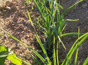 verduras-ecologicas-de-otono-bacarot-granja-masphael-100_3712