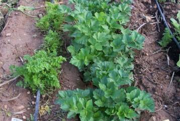 verduras-ecologicas-de-otono-bacarot-alicante-100_3766