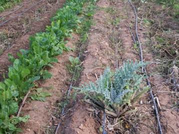 verduras-ecologicas-de-otono-bacarot-alicante-100_3769-2