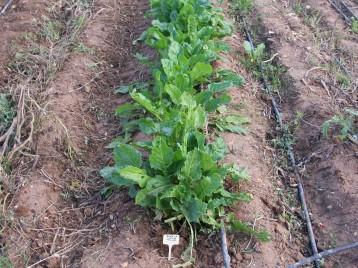 verduras-ecologicas-de-otono-bacarot-alicante-100_3770