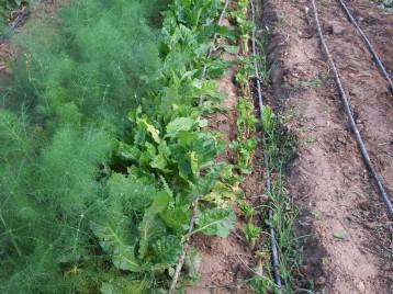 verduras-ecologicas-de-otono-bacarot-alicante-100_3772-2