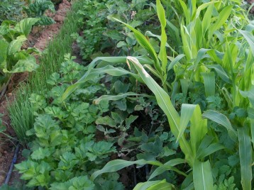 verduras-ecologicas-de-otono-bacarot-alicante-100_3774