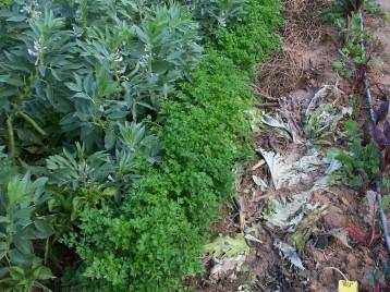 verduras-ecologicas-de-otono-bacarot-alicante-100_3778-2