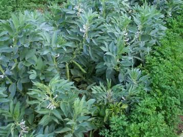 verduras-ecologicas-de-otono-bacarot-alicante-100_3779
