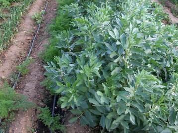 verduras-ecologicas-de-otono-bacarot-alicante-100_3781-2