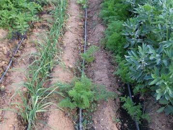 verduras-ecologicas-de-otono-bacarot-alicante-100_3782-2