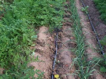 verduras-ecologicas-de-otono-bacarot-alicante-100_3783