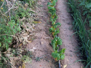 verduras-ecologicas-de-otono-bacarot-alicante-100_3786-2