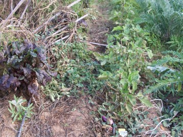 verduras-ecologicas-de-otono-bacarot-alicante-100_3787