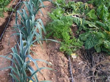verduras-ecologicas-de-otono-bacarot-alicante-100_3788