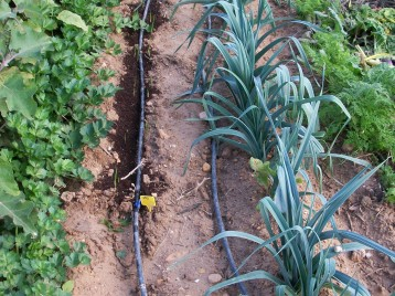 verduras-ecologicas-de-otono-bacarot-alicante-100_3789