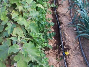 verduras-ecologicas-de-otono-bacarot-alicante-100_3790-2