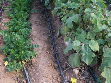 verduras-ecologicas-de-otono-bacarot-alicante-100_3791