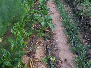verduras-ecologicas-de-otono-bacarot-alicante-100_3798-2