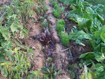verduras-ecologicas-de-otono-bacarot-alicante-100_3802