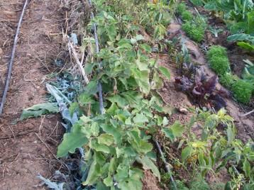 verduras-ecologicas-de-otono-bacarot-alicante-100_3803